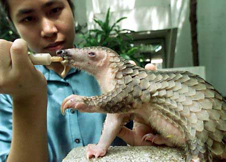 ,giant pangolin,chinese pangolin,indian pangolin
